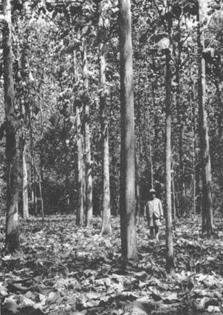 teak-plantation.jpg